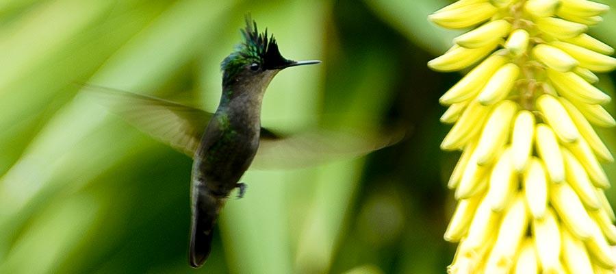 colibri-vole